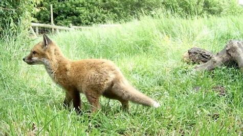 Fox Cub daylight 3pm 31st May_00001