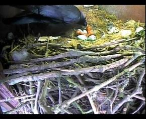 Jackdaw Chicks 9th May 1_00001