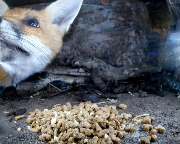 Fox cub hedgehog Box 1_00000