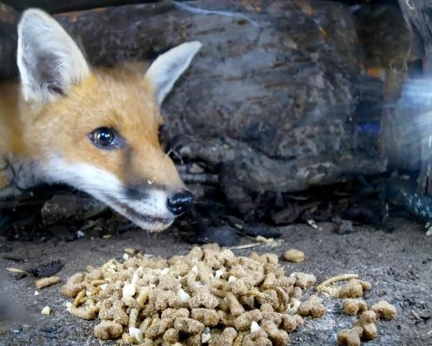 Fox cub hedgehog Box 1_00001