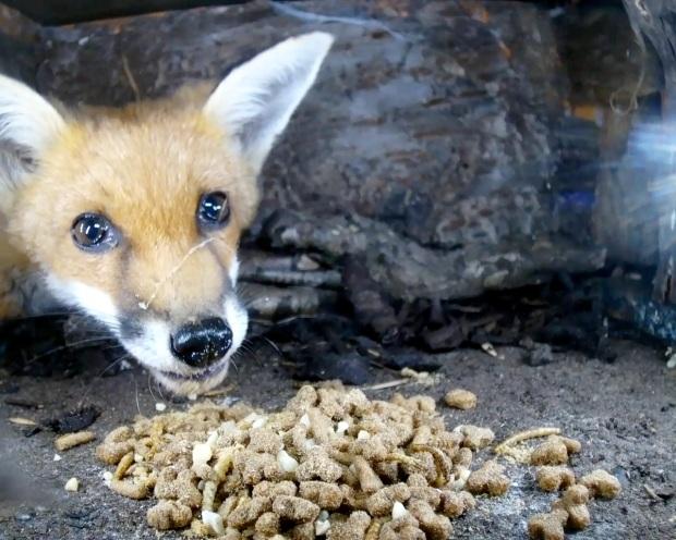 Fox cub hedgehog Box 1_00002