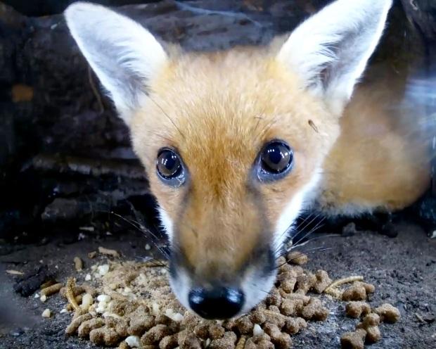 Fox cub hedgehog Box 3_00002