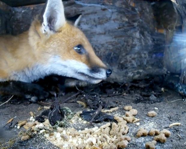 Fox cub hedgehog Box 5_00000