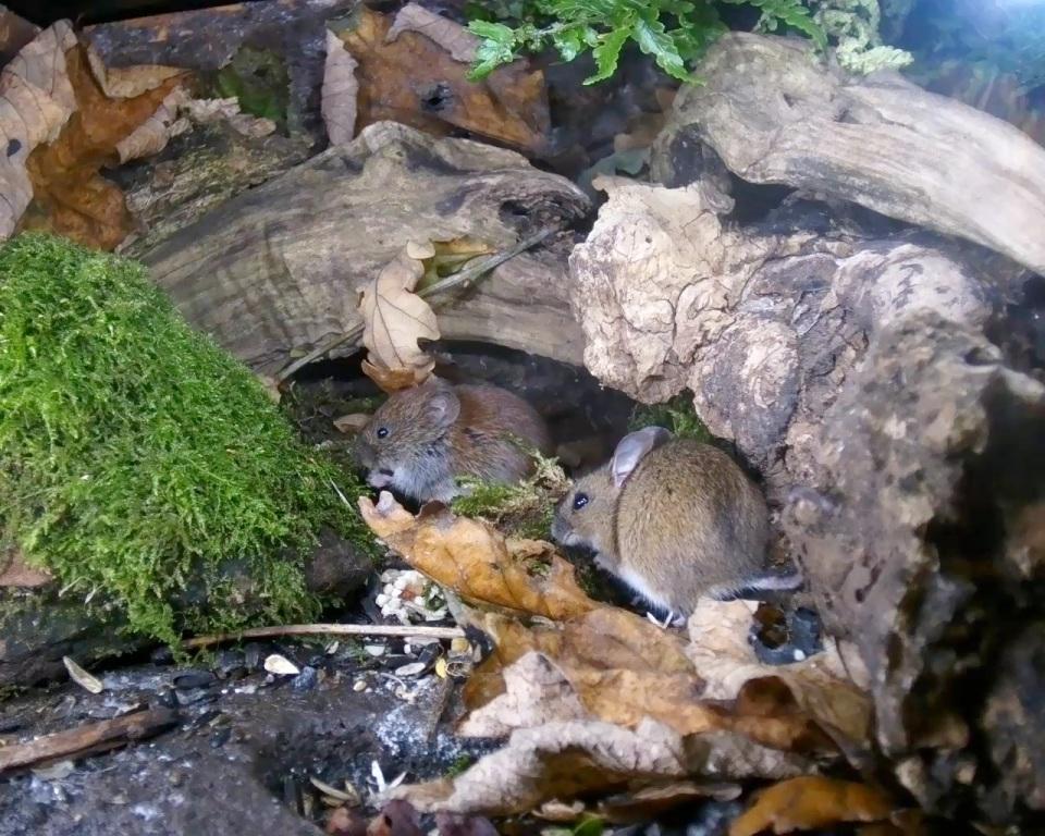 Nov 15 - Wood mouse & vole 2_00001