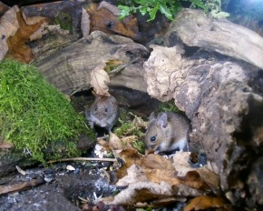 Nov 15 - Wood mouse & vole 3_00002