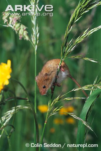 Harvest-mouse-on-grass
