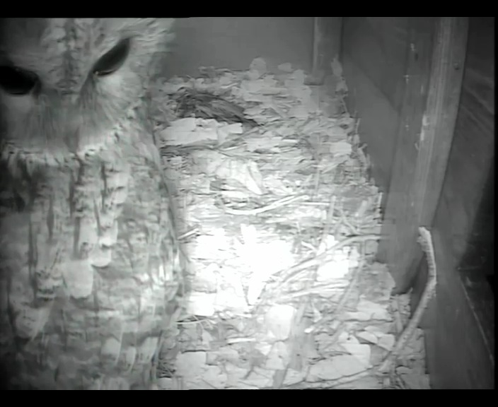 Tawny in Barn owl box 15th  Jan_00003