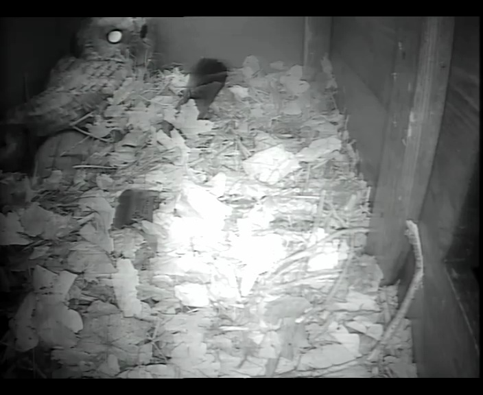 Tawny in Barn owl box 15th  Jan_00005