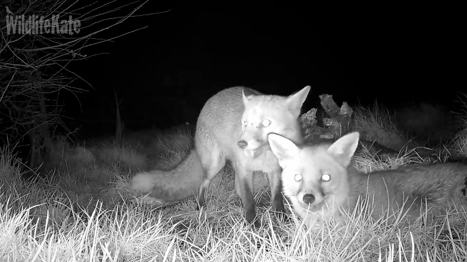 2 foxes Feb 2016_00000