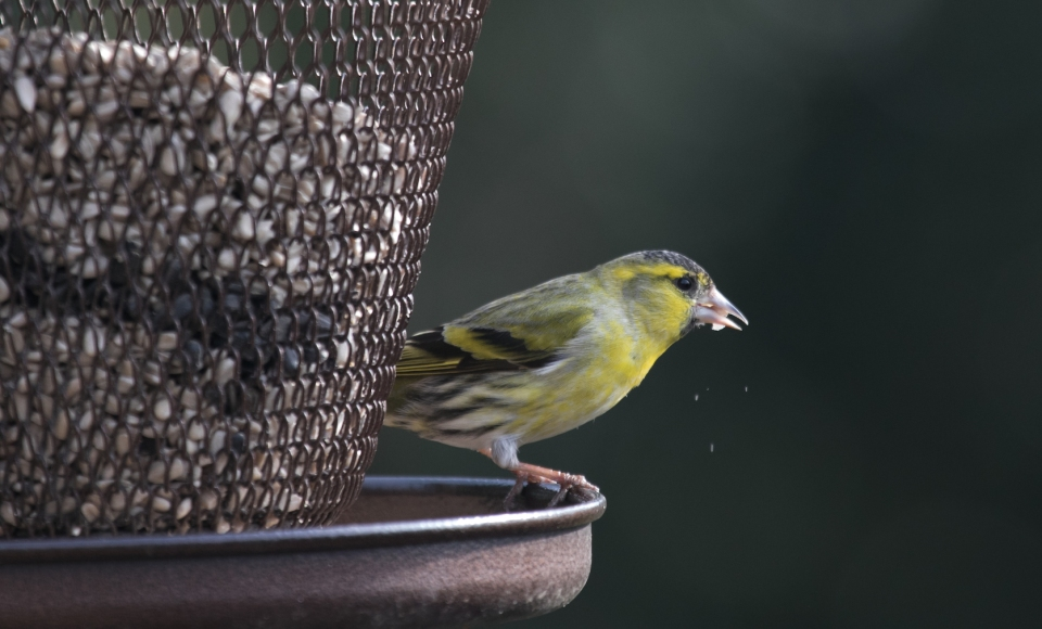 Siskin Saturday _-4157