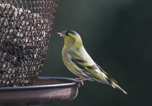Siskin Saturday _-4160