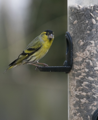 Siskin Saturday _-4176