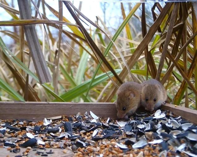 Vivotek Harvest Mice on 192.168.1.14 2016-03-15 16-07-00.247