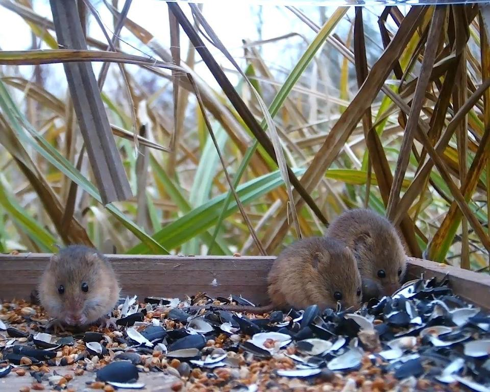 Vivotek Harvest Mice on 192.168.1.14 2016-03-15 17-58-07.421