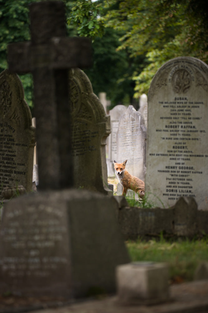 Fox in Cemetery - Richard Bowler