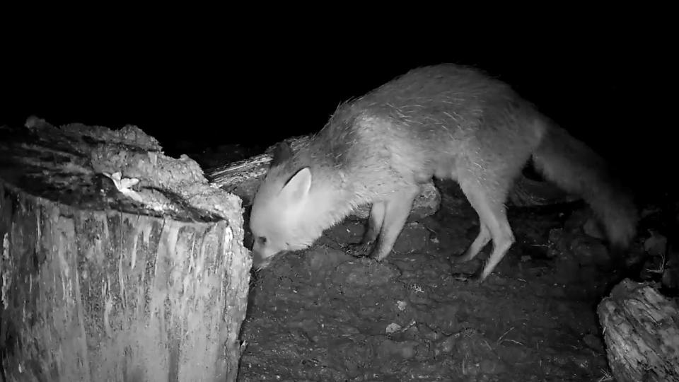 VIVOTEK badger feeding 2016-04-15 22-40-11.986