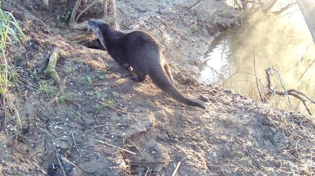 Daylight lone Otter arrives 30.4.16_00001
