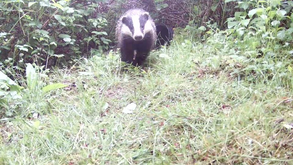 Daytime Badger_Sett2 May 21st 20.27_00001