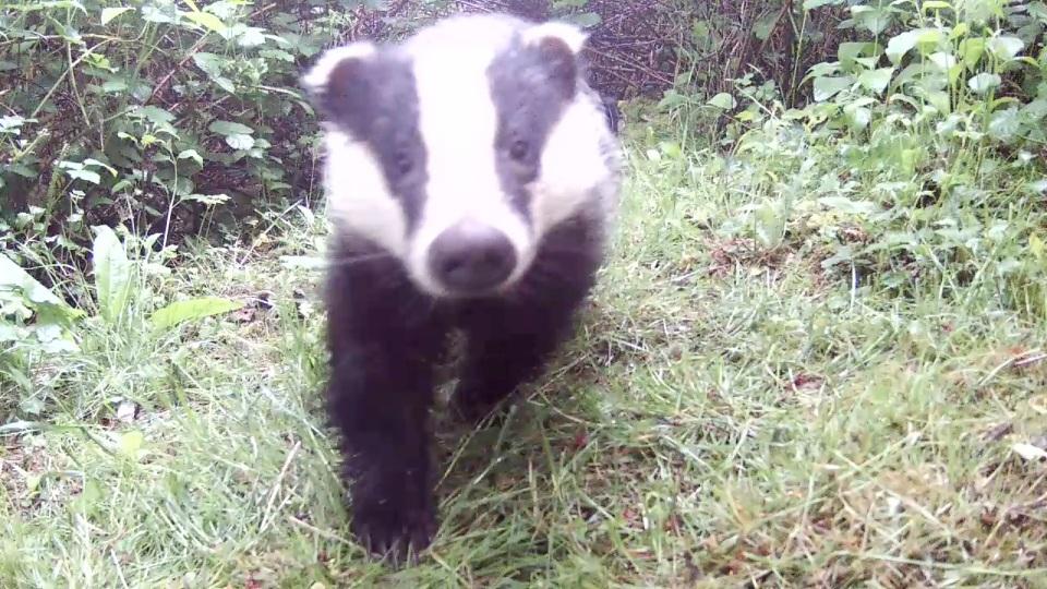 Daytime Badger_Sett2 May 21st 20.27_00005