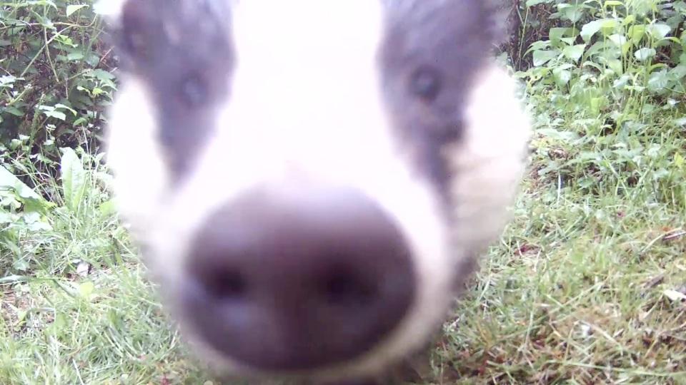 Daytime Badger_Sett2 May 21st 20.27_00006