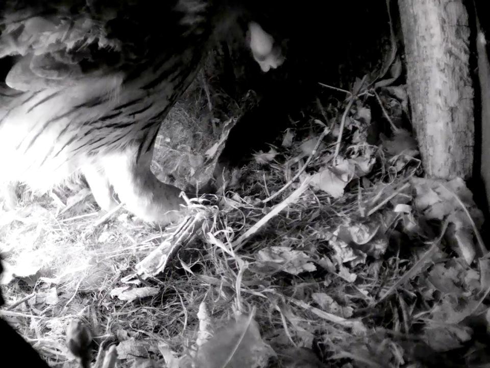 Tawny takes Jackdaw Chick2_3  02.35 16th May_00000
