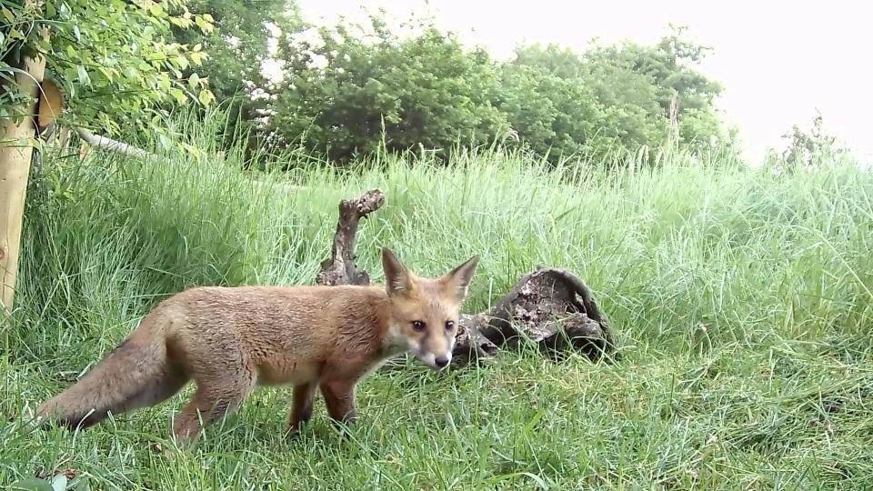 fox cub june_00000