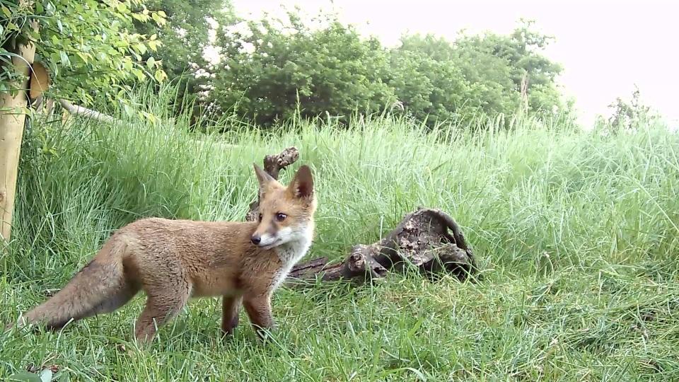 fox cub june_00001