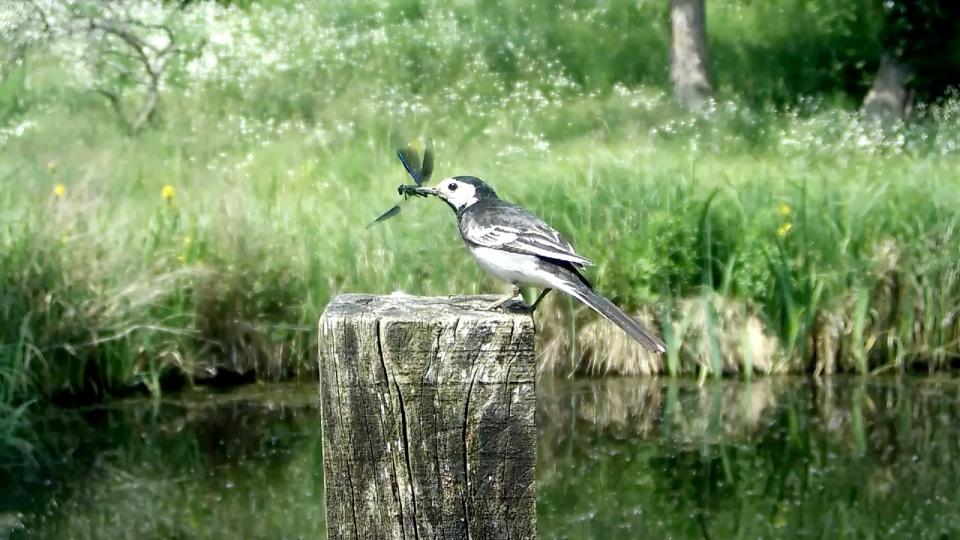 Pied wagtail with demoiselle_00001