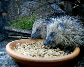hedgehogs1_00002