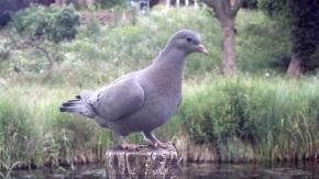 Stock dove_00000