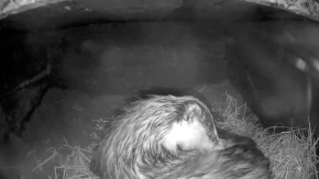 Badger in sett 2nd Aug_ grooming_00000