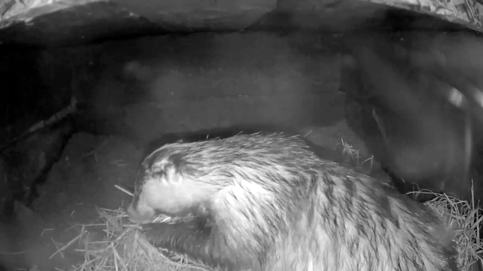 Badger in sett 2nd Aug_ grooming_00001