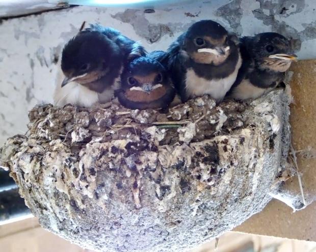 Swallows 22nd July_00000