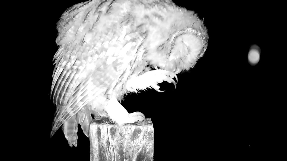 Tawny preening 24th July2_00002