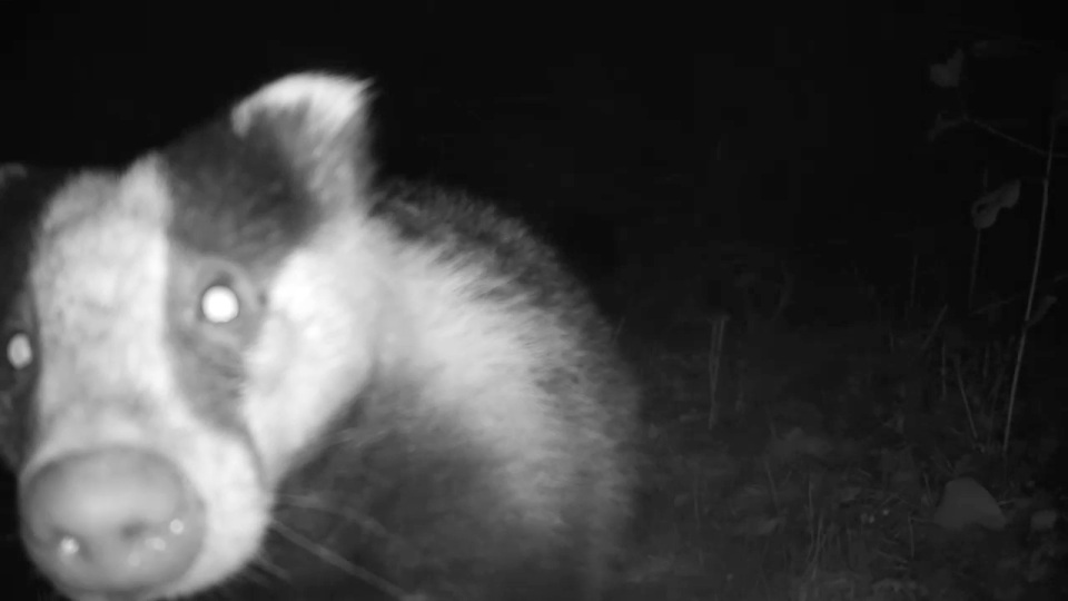 badger-licking-camera_00000