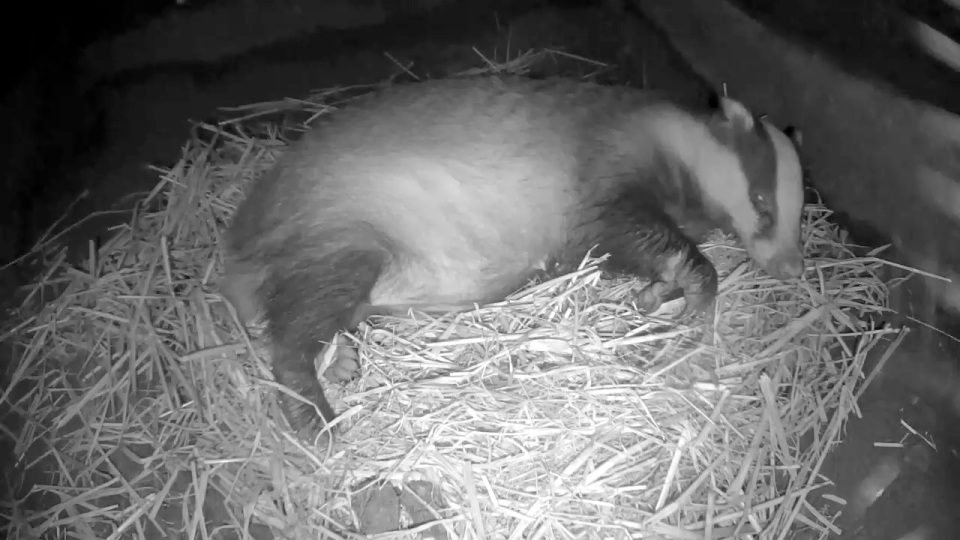 badger-sett-1-sleeping-22-21-sept-30th_00001