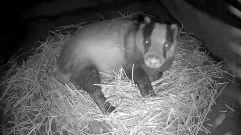 badger-sett-chamber-2-badgers-30th-sept_00000