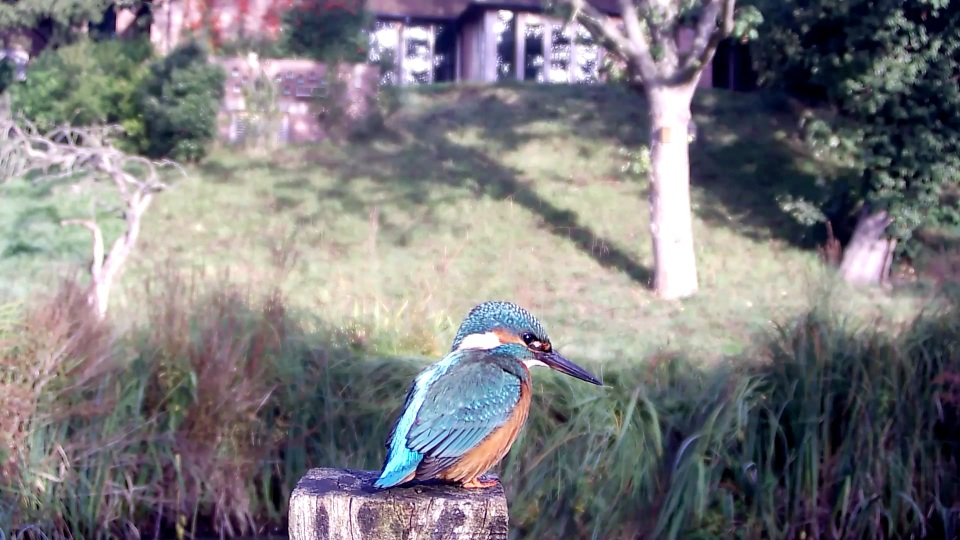 kingfisher-9am-sunlight_00000