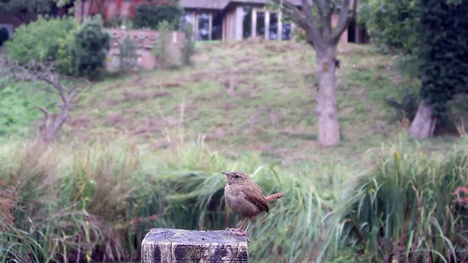 wren-on-kingfisher-post_00000