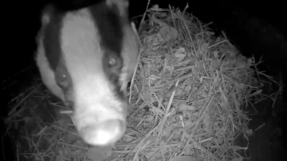 badger-bedding-1st-nov_00001