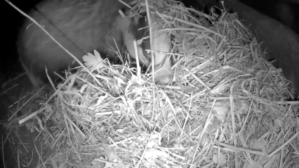 badger-bedding-1st-nov_00002