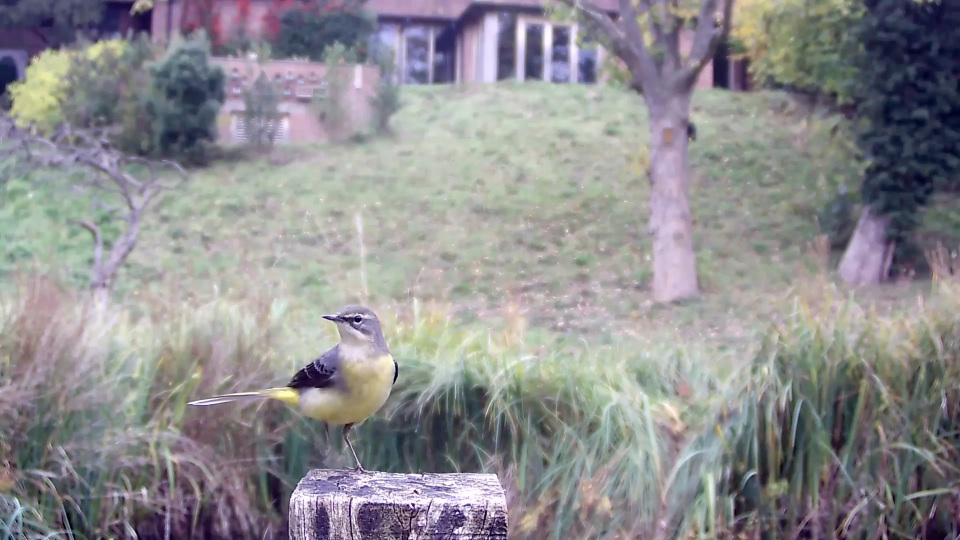 grey-wagtail-oct-25th_00001