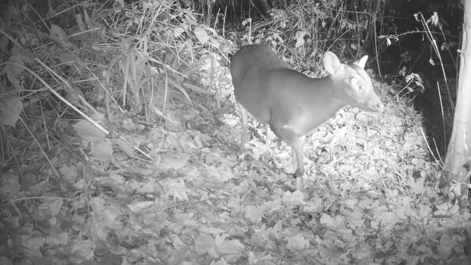 muntjac-27th-nov_00002