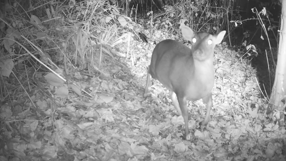 muntjac-27th-nov_00003