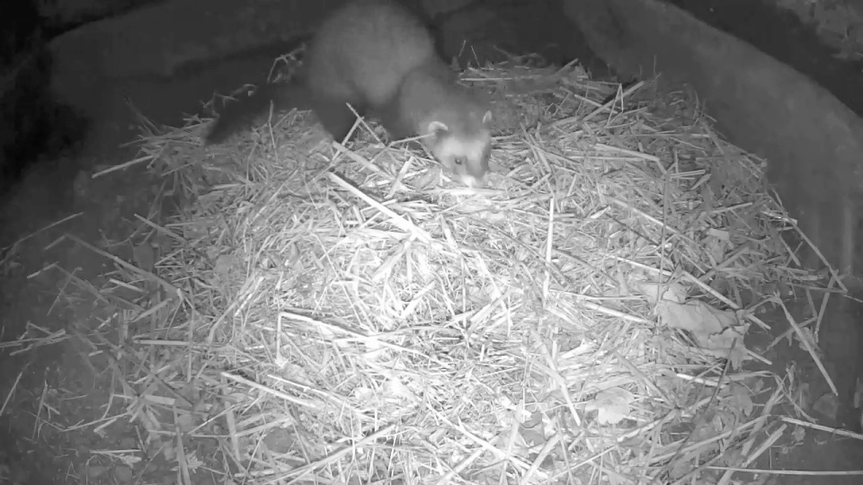 polecat-cam-sett1-2nd-dec_00000