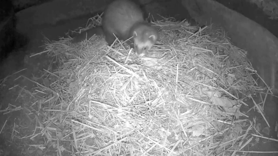 polecat-cam-sett1-2nd-dec_00001
