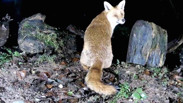 vivotek-badger-feeding-2016-12-11-00-20-39-705