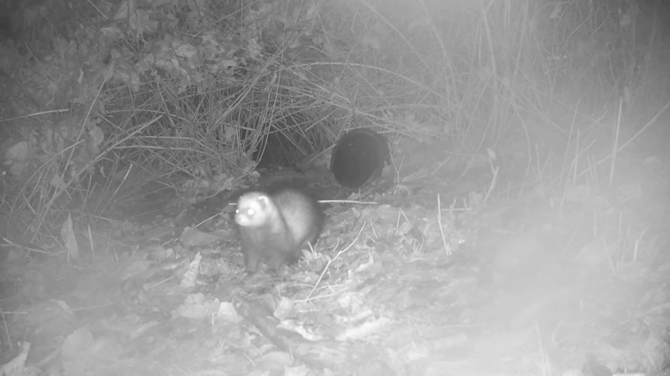 close-up-polecat-badger-sett2_00000