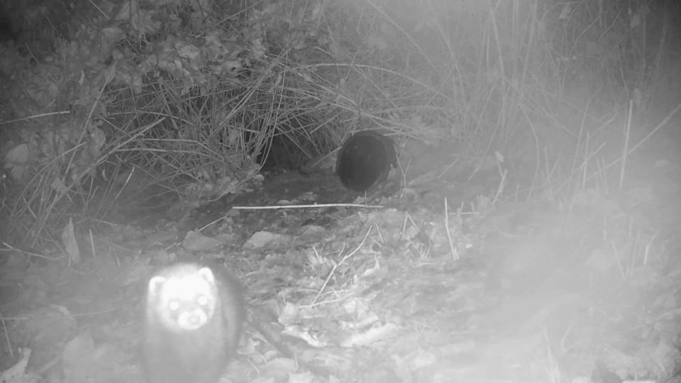 close-up-polecat-badger-sett2_00001