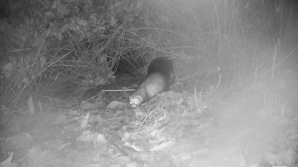 close-up-polecat-badger-sett2_00002